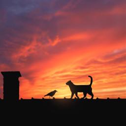 freetoedit sunset colorful cat