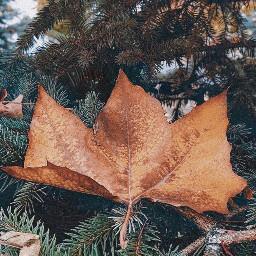 leaf pinetree branch nature autumnfeels freetoedit
