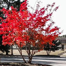 andreamadison andreamadisonlandscapeart fall foliage red