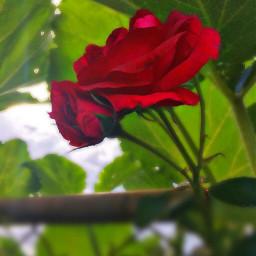 freetoedit redrose rose flower nature
