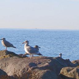 mypic seagulls birds freetoedit