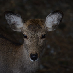 deer animal animals wildlife freetoedit