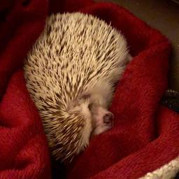 hedgehog cute lovehimsomuch