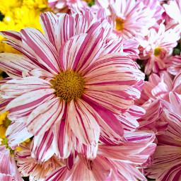 freetoedit flowers flower photographer photographyart