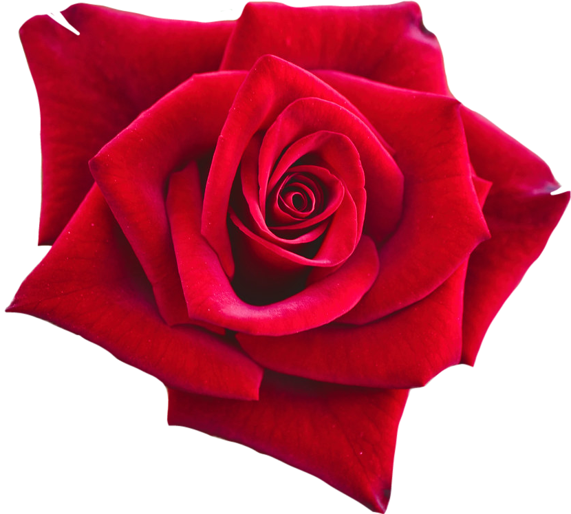 #lucymy #rosalucymy #rosa #flowerslucymy #rose