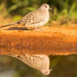 dove bird texas owl honeycreeper