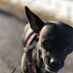 chihuahua dog pet creek animal freetoedit