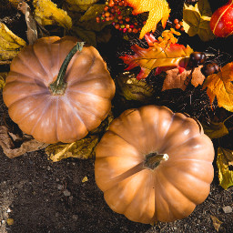 thanksgiving pumpkin background backgrounds freetoedit