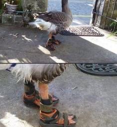 cursed cursedimages cursedimage freetoedit goose
