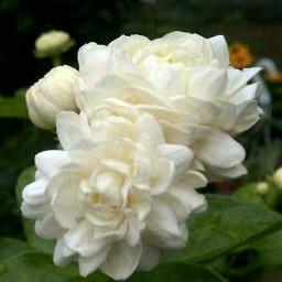 white flowers pcwhite