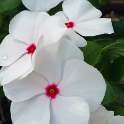 myoriginalphoto flowers inmyneighborhood nature colorful pcwhite freetoedit