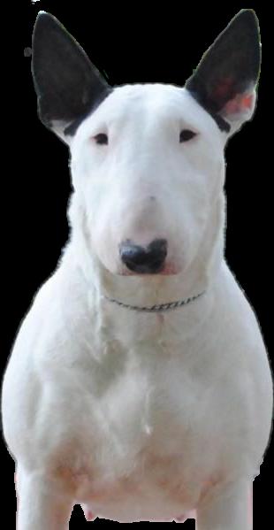 ##bullterrier #dog @irethf5