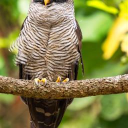owl bird honeycreeper tanager nature