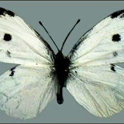 challenge butterfly white