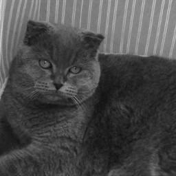 freetoedit mypet cat şans luck scottish