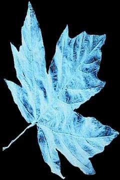 sticker stickerchallenge frozen leaf frozenleaf freetoedit scfrozenleaf