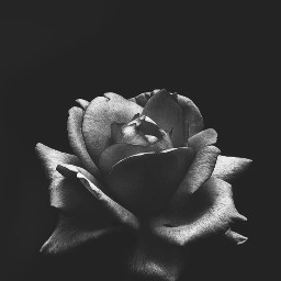singleflower rose nature darkandlight monotone freetoedit