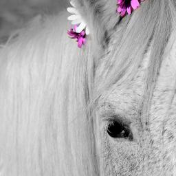 ilovemyhorse horses horseportrait blackandwhite colorsplash