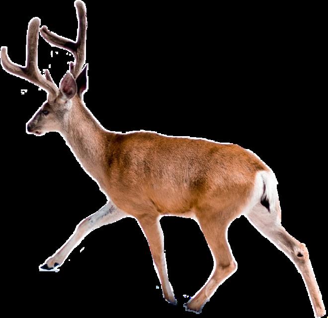 Christmas Deer Challenge ... #christmas #christmasdeer  #deer #deers #freetoedit