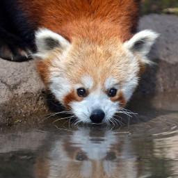 cute interesting beauty panda pandared