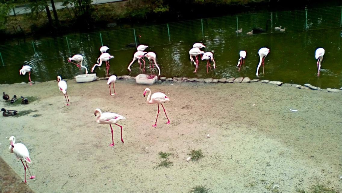 #животные #розовый #фламинго #обои #фон  #freetoedit