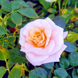 freetoedit flor rosa plantas photography