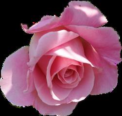 lucymy rosa rose rosalucymy wow freetoedit