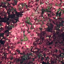 nature flowers flowerybushes bougainvilleas naturesbeauty freetoedit