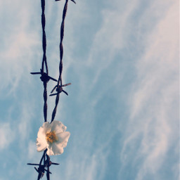 flower barbedwire skyandcloudsbackground urbannature minimalphotography freetoedit