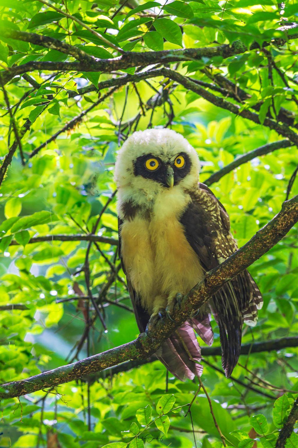 Spectacled Owl Oropopo, buho de anteojos (Pulsatrix perspicillata)         #owl#duck #nature #bird #puffin #toucan #costarica # #owl #bird #honeycreeper #bird #tanager #tanager #bird #nature #wild #costarica #toucan #nature #costarica #bird # #owl #bird #wild #bird #nature # #hawk #bird # #owl #nature #wild #wildlife # #bird #nature #wildlife #anime #animals #animals #travel #nature #birdsphotography #birdsphotography #interesting #colorful #colors #naturelovers #naturephotograpy #nature #wildflowerfaerie #wild #costarica #wild #wild #nature #photography Share  Copy URL