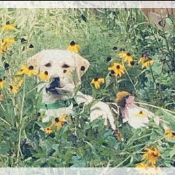 finley labradorretriever sunflower
