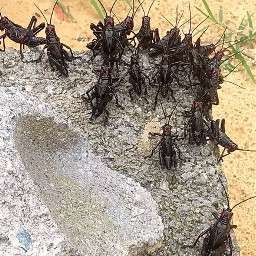 freetoedit nature cricket crickets insect