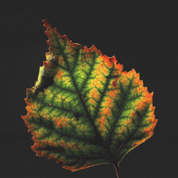 nature leaf naturehues blackbackground minimalphotography freetoedit