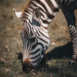 zebra animal animals freetoedit
