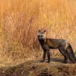 fox animal wild bear alaska
