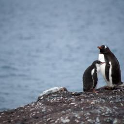 penguin penguins cute animal animals freetoedit