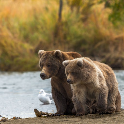 bear alaska wild nature wildlife