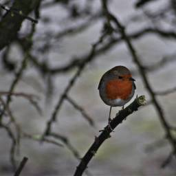 nature hedgerows birds robin outandabout freetoedit