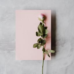 rose flower flowers background backgrounds freetoedit
