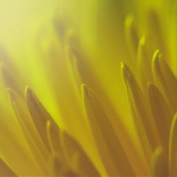 chrysanthemum yellow flower light soft freetoedit