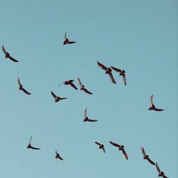 nature lookingup beautifulday bluesky flockofbirds freetoedit
