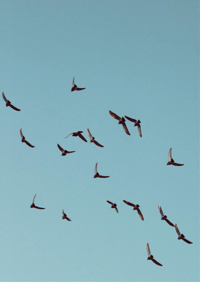 #nature #lookingup #beautifulday #bluesky #flockofbirds #birdsinflight #naturephotography   #freetoedit