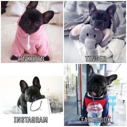 freetoedit dogs cutedogs blackdogs frenchbulldog rcsocialpetworks socialpetworks