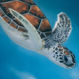 turtle animal animals underwater freetoedit