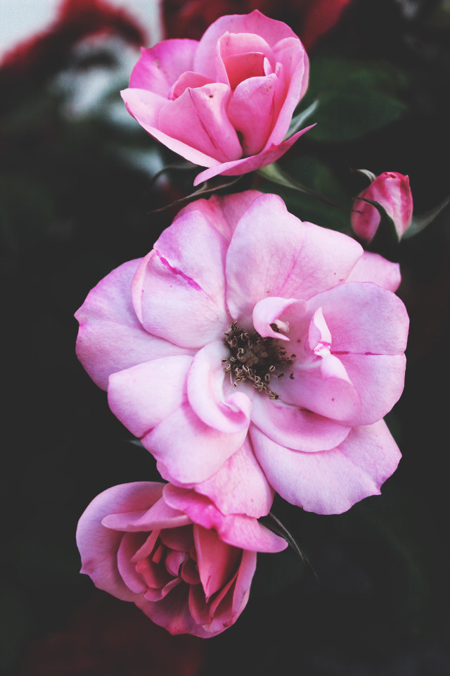 #nature #flowers #naturesbeauty #roses #pinkroses #naturephotography   #freetoedit
