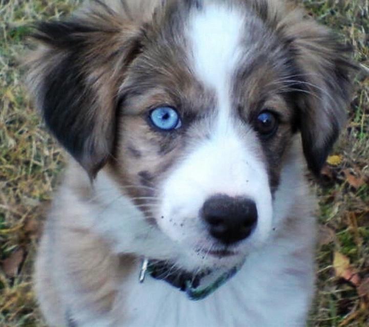 #eyes #blueeyes #picsartchallenge #mydog #dog #doglover #doglovers #dogphotography #photographer #photooftheday