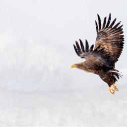 eagle hawk bird owl snowyowl