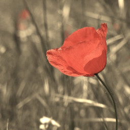 flower poppy red sepia beautiful