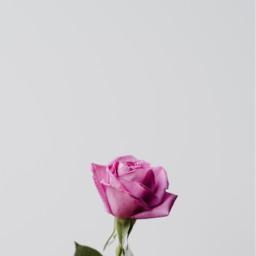 rose nature flower background backgrounds freetoedit