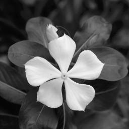 freetoedit blackandwhite flower nature white